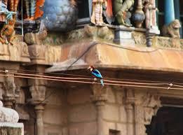 india embraces the great backyard bird count audubon