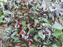 mexican calico chilli a fantastic edible ornamental