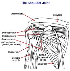 Innervation Of Supraspinatus Subscapularis Muscle Definition Function U0026 Innervation Study Com