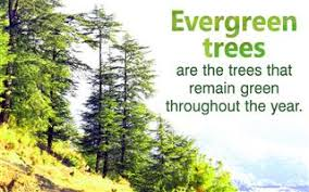 how far apart to plant evergreen trees