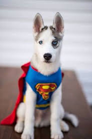 Pitbull Dog Halloween Costumes 13 Awesome Halloween Costume Ideas Husky Dogs