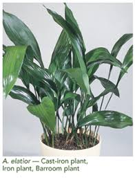 super floral retailing u003e current issue u003e foliage plant of the month