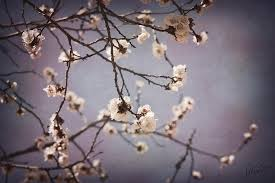 apple blossom tree photograph by christine hauber