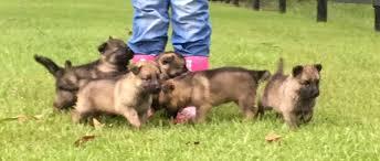 belgian shepherd louisiana protection dogs u0026 puppies for sale