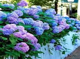 hydrangea growing along fence flowers u0026 nature background