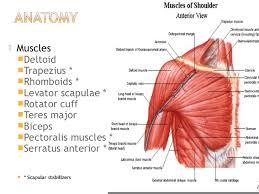 Anatomy Of Rotator Cuff Deltoid Trapezius Rhomboids Levator Scapulae Rotator Cuff