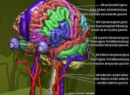 Image Of Brain Anatomy Voxel Man 3d Navigator Brain And Skull
