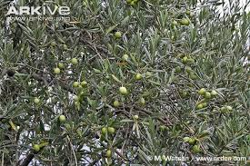 olive photo olea europaea g123474 arkive