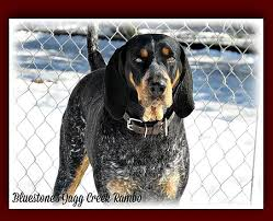 bluetick coonhound reviews bluestone blueticks old fashioned bluetick coonhound puppies in wv