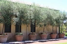 potted olive trees u2026 pinteres u2026
