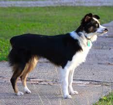 belgian sheepdog rescue texas mesquite tx australian shepherd meet kallie mini aussie a