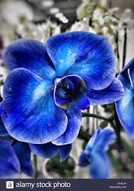 blue orchid flower artificially dyed blue orchid flowers stock photo 310784398 alamy
