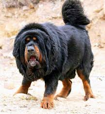 lion dogs top 10 dog breeds that look like lions
