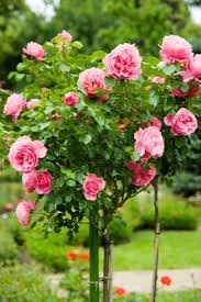 best 25 roses garden ideas on pinterest rose bush trim rose