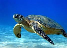 quality images of sea turtles quality images on animal picture