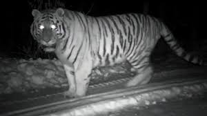 very rare footage of a wild snow tiger operation snow tiger