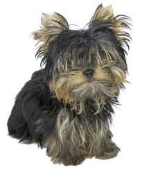 pictures of shorkie dogs with long hair shorkie hairstyles cuteness