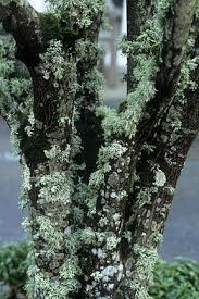 algae lichens and moss on trees and shrubs rhs gardening