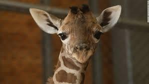 Giraffe Meme - why your facebook feed is full of giraffes cnn
