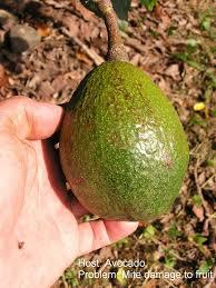 Viroid Diseases In Plants - sunblotch disease information u2013 what to do about avocado sunblotch
