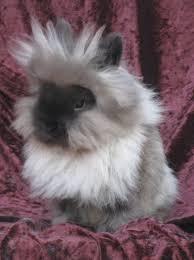 25 lionhead rabbit ideas fluffy bunny
