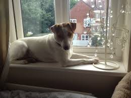 bichon frise jack russell cross temperament iris u2013 1 year old female jack russell terrier cross dog for adoption