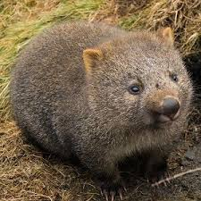 Wombat Memes - the 25 best wombat facts ideas on pinterest cool random facts