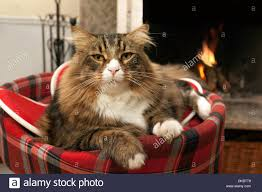 cat sitting in front of fireplace stock photo royalty free image