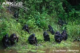 siege social bonobo bonobo photo pan paniscus g114690 arkive