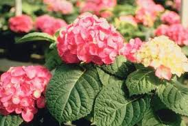 pink hydrangea how to fertilize a pink hydrangea home guides sf gate