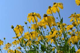 Kies Garten Gelb Wiesenknopfschreibselei Sichtungsgarten Weihenstephan