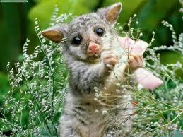opossums photos