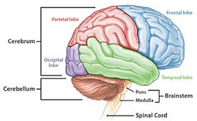 Image Of Brain Anatomy Brain Considerable Brain Anatomy Labeling Quiz At Best Anatomy Learn