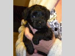 puppies indiana yorkie poo puppies 3 males in indiana in free indiana superads