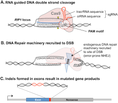 efficient generation of multi gene knockout cell lines and patient