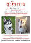 สุนัขไซบีเรียนฮัสกี้หาย สิบวันยังไม่เจอเลยค่ะ ใครพบเห็นรบกวนแจ้งที ...