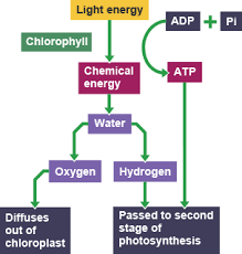The Light Reactions Of Photosynthesis Use And Produce Bbc Bitesize National 5 Biology Photosynthesis Revision 2