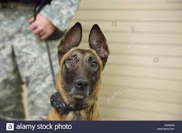 belgian shepherd us army u s army sgt stephen strick 550th military working dog