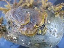 Image result for Ralfsia verrucosa