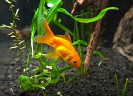 Goldfish In A Vase Fish That Can Live In A Bowl Petmd