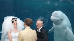 Whale Meme - beluga whale photobombs wedding becomes the internet s hot new