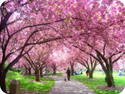 cherry blossom tree backgrounds flowers gallery