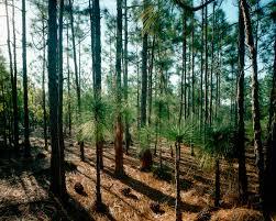 grove of needle pine trees carolina pictures