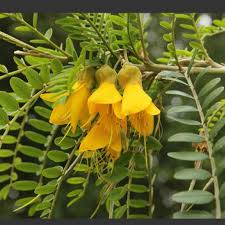 kowhai the national flower of new zealand