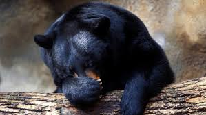 nova official website bear essentials of hibernation