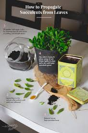 propagate your succulent plants using cuttings and leaves