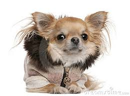 http thumbs dreamstime x chihuahua wearing sweater 3 years