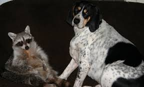 bluetick coonhound behavior caring for dogs
