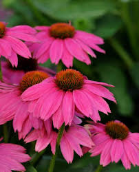 Echinacea Flower Growing Echinacea Flower Needs Full Sun Little Water