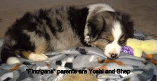 life with australian shepherd aussies with long tails kaleidoscope toy and miniature natural
